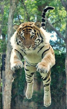The flying tiger 🐅 - Photo credit: unknown Nature Animals, Animals And Pets, Funny Animals, Cute Animals, Animals Planet, Big Cats, Cats And Kittens, Cute Cats, Tiger Pictures