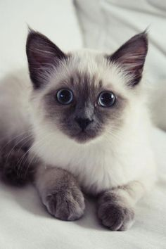 Terrific Free siamkatze siamese cats Tips Siamese kittens and cats might be best renowned for their clean, streamlined our bodies, creamy apparel and also specia Siamese Kittens, Cute Cats And Kittens, Baby Cats, Kittens Cutest, Funny Kittens, Bengal Cats, Ragdoll Siamese, Kittens Meowing, Funny Pugs