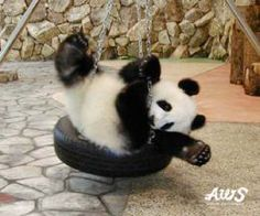 cute baby panda playing on a tire swing