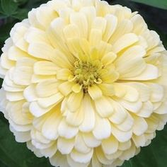 Zinnia Creamy Yellow produces single and semi-double light yellow flowers.