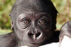 Hasani, a Western Lowland baby Gorilla