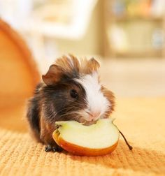 Baby guinea pig eating an apple slice!