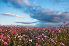 A magnificent meadow of autumn Cosmos on the South African Highveld captured just before sunset. Meadow Garden, Before Sunset, Cosmos, South Africa, Fields, Flora, Autumn, Plants, Gems
