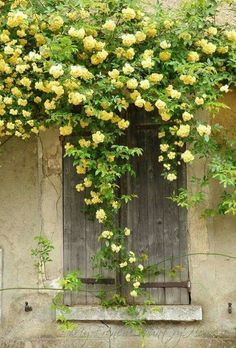 Rustic door with yellow roses - lady banks rose Beautiful Roses, Beautiful Gardens, Lady Banks Rose, My French Country Home, Country Charm, Country Living, Climbing Roses, Yellow Climbing Rose, Rock Climbing
