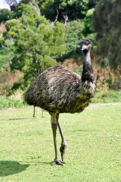 Photo about Australian emu at Tower Hill wildlife reserve, victoria (Australia). Image of countryside, outdoor, grass - 22781341 Zoo Animals, Animals And Pets, Emu Bird, Reptiles, Ostriches, Australian Animals, Prehistoric Animals, Jungle Theme, Outdoor Art