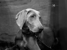 One of the weimaraners at Crufts 2016.