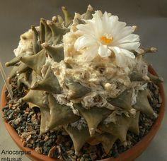 Ariocarpus retusus.