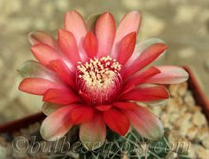Gymnocalycium baldianum - Flickr - Photo Sharing!