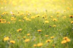 Yellow Dandelion Print, Country Scene, Country Field of Yellow Dandelions, Fine Art Photography
