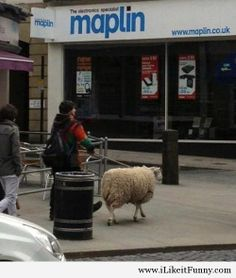 I saw this today in my town walking the sheep