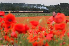 Poppies burst into bloom in front of a stretch of the Severn Valley Railway near Bewdley, Worcestershire