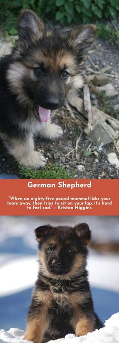 Want to know more about German Shepherds Simply click here to learn more... #germanshepherd