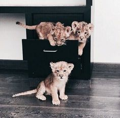 Wait....these aren't kittens.