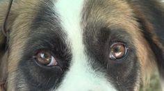 Výsledek obrázku pro goat eye close up