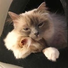 Mazzy is starting to have contractions. She hops Poppy could help her. #minivaniljer #mazarin #popcorn #poppylove #birma #birman #breeder #catsofinstagram #chokladochvanilj #kitten #pinkalicious #welovecats #we_love_cats #preggo