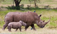 White rhino facts, pictures and information for kids & adults. This iconic African animal is the largest rhino. African Rhino, African Animals, African Safari, National Park Tours, National Parks, Behr, Rhino Facts, Zoo Animals, Cute Animals