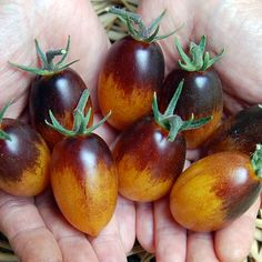 Blue Tomato INDIGO™'Kumquat' F1 ブルートマト・インディゴ・カムクァート