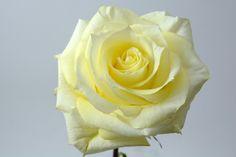 """Lemon Chiffon"" spray rose  #xactproducts #colorful #style #instaflowes #flowerporn #flowerstagram #flowersofinstagram #floristsofinstagram #floristry #florist #flowershop #ihavethisthingwithflowers #floristlife #eventflowers #seasonalflowers #floraldesigner #sprayrose #sprayroses  Seasonal Flowers, All Flowers, Spray Roses, Icing, Floral Design, Lemon, Fragrance, Chiffon, Colorful"