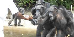 CHIMPS IN LIBERIA STILL NEED YOU: Take action now > http://salsa4.salsalabs.com/o/51135/p/dia/action3/common/public/?action_KEY=19596