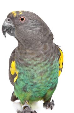 Here is a photo of one of the delightful Parrot species we're celebrating today, #MeyersandSenegalsDay.