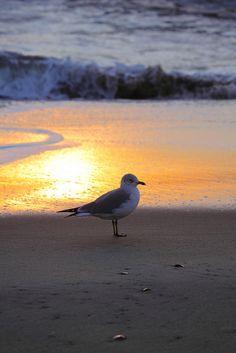 Seagull at sunset Beautiful Ocean, Beautiful Birds, Beautiful Beaches, Peaceful Places, Sea Birds, Ocean Life, Bird Watching, Belle Photo, Strand
