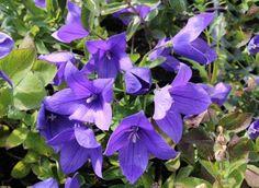 A léggömbvirág vagy hírharang (Platycodon grandiflorus) Kelet-Ázsiában őshonos közepes termetű évelő növény.