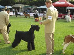 Giant Schnauzer - Batman (Am Méx Int Panam Ch HiStyle´s Batman)  #giantschnauzer #giantschnauzers #grooming #schnauzer #schnauzers #dog #dogs #dogshow #akc #fci #pets #pet #pup #puppy #puppies #pups #animal #animals
