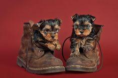 I Love Yorkies Fan Club   Yorkshire Terrier Fan Club #yorkshireterrier