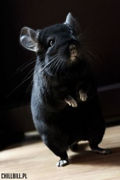 Billy - chinchilla extra dark ebony! :) <3