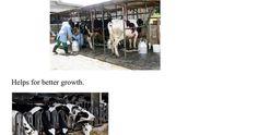 Cattle feed additives Cattle, Animals, Gado Gado, Animales, Animaux, Animal, Animais