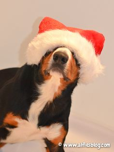 Alfie-Santa-paws-hat-I think getting tired of modeling!