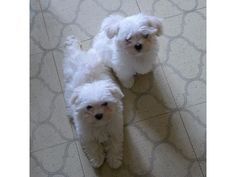 listing two maltese puppies for free adoption.56... is published on Free Classifieds USA online Ads - http://free-classifieds-usa.com/for-sale/animals/two-maltese-puppies-for-free-adoption-567-245-9783_i36428                                                                                                                                                                                 More