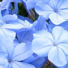 Leadwort (Plumbago auriculata) is native to South Africa and at one time, a stick of it was placed in the thatch of huts to ward off lightening.  It was also believe to help get rid of warts and heal broken bones.  Today it is loved for it's beautiful blue flowers.  To read more about this plant, or find a supplier, click on the image below