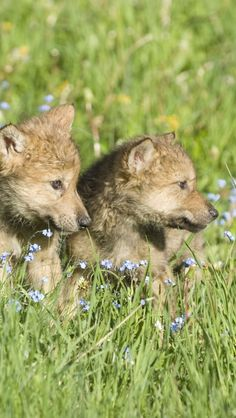 http://iphone.wallpaperswiki.com/wolf-cubs/