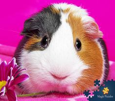 Animals And Pets, Cute Animals, Baby Guinea Pigs, Toot, Rabbit, Puzzles, Magic, Amazing, Pictures