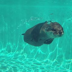 """""""Water Sausage does an aqua zoom. Otters Cute, Baby Otters, Cute Baby Animals, Animals And Pets, Wild Animals, Significant Otter, Otter Love, Lovely Creatures, Sea Otter"""