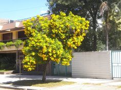 Ipê Jardim – Tecoma stans – Arvoreta ideal para calçadas. Apresenta florada amarela e duradoura.