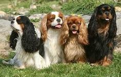 smiling cavalier king charles spaniel - Google Search