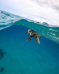 Sea Turtle up for air