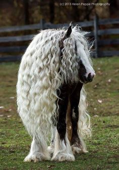 Majestic Gypsy Vanner has better hair then i do