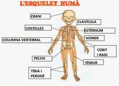 l'esquelet xtec primaria - Cerca amb Google