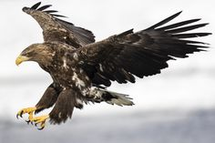 The white-tailed eagle is an endangered species, a relative of the bald eagle, but found in Eurasia. Here at the Shiretoko National Park, Rausu, Hokkaido, Japan