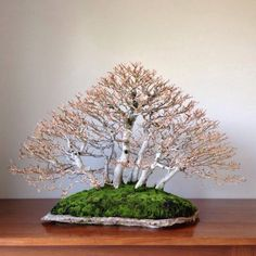 "Amazing ""Forest-style"" Bonsai of White Birch! ..love the mossy foundation... on a ""slab"" of stone. So evocative of my home province of Ontario, Canada - the easter side of Georgian Bay.  Bosque de fagus"