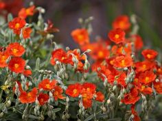 What To Search For Right Before You Purchase Your Higher Than Floor Pool Helianthemum 'Henfield Brilliant', Also Called Sun Rose Or Rock Rose Garden Web, Lawn And Garden, Garden Plants, Balcony Garden, Perennial Ground Cover, Ground Cover Plants, Outdoor Landscaping, Front Yard Landscaping, Planting Succulents