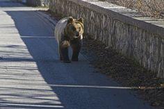 Si chiama Morena l'orsetta che è stata lasciata libera all'interno del Parco Nazionale d'Abruzzo Lazio e Molise. I guardiaparco l'avevano trovata senza mamma alla fine di maggio, quando aveva tre mesi e pesava solo 3 chili. Dopo la nevicata di fine novembre gli esperti si sono accorti del rallentamento del suo metabolismo in vista del letargo. A dieci mesi pesa circa 40 kg ed è stata selezionata una zona adeguata per il rilascio in base alle linee guida. Adesso Morena sarà monitorata.