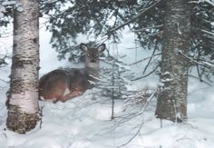 Fawn bedded down in the snow
