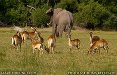 Red lechwe with #elephant in the background  @ Kwando Game Reserve in #Botswana. For a #Kwando travel guide with maps, photo's and user reviews visit www.safaribookings.com/kwando