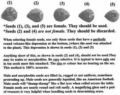 The mystery of male or female seeds revealed for you.                                                                                                                                                                                 More