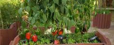 Como ter uma horta de temperos sempre bonita, vistosa e aromática - Queridos hortelões, hoje a dica não poderia ser mais simples! Você quer que suas ervas aromáticas estejam sempre bonitas, vistosas e saborosas? Então, use-as! Sim, é isto mesmo, o uso (ou melhor, a colheita/poda) é responsável por deixar a planta mais bonita, ramificada (cheinha) e saboros... - http://www.ecoadubo.blog.br/ecoblog/2015/04/27/como-ter-uma-horta-de-temperos-sempre-bonita-vistosa-e-aroma