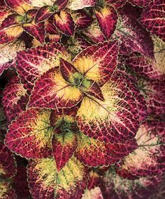 Coleus - Solenostemon scutellarioides. I never get tired of the colorful coleus!